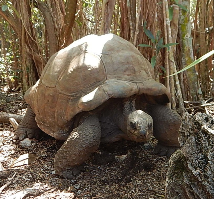 Mauritian tortoise